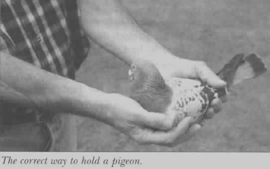 How to hold a pigeon